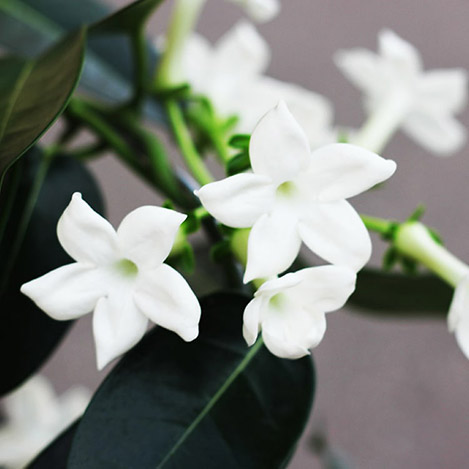 stephanotis-avec-cache-pot-7099.jpg